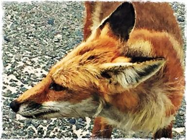 AWalker/Fox