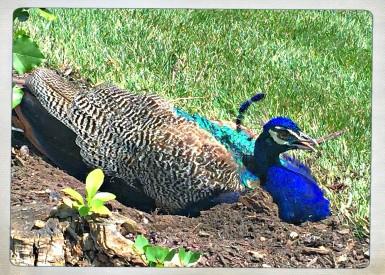AWalker/peacock